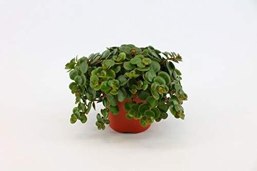 Nachhaltig produziert Zimmerpflanze von FAIR FLORA® – 1 x Fetthenne – Höhe: ca. 15 cm – Sedum Makinoi