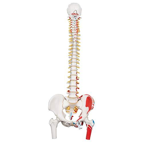 3B Scientific A58/3 Modelo de anatomía humana Columna Flexible, Versión Clásica Pintada Con Cabezas + software de anatomía gratuito - 3B Smart Anatomy ⭐