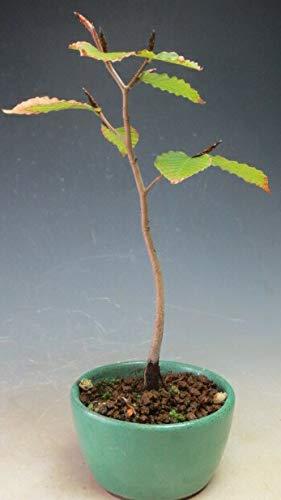 盆栽 白神ブナ(苗木)の鉢植え盆栽