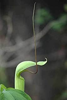 Arisaema tortuosum | Whipcord Cobra Lily | Jack in the Pulpit | 10_Seeds