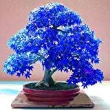 20pcs fantôme bleu pourpre japonais Érable, (Acer Palatum), graines de fleurs de bonsaïs, les graines d'arbres, des plantes en pot pour la maison et le jardin bleu