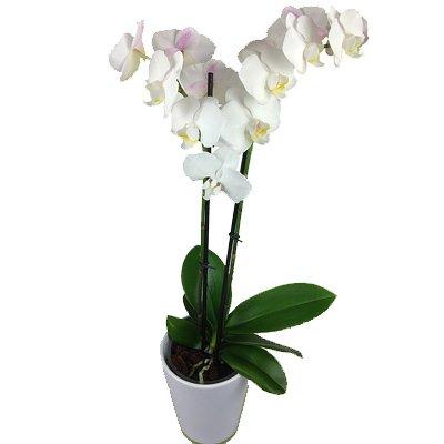 Weiße Orchidee - Echte Orchidee inklusive Keramik Übertopf - Orchideen Rosenbote