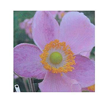 SANHOC Graines Paquet: gardenexpert Anemone hupehensis 'Little Princess 9cm Taille du Pot, Pack 2SEED