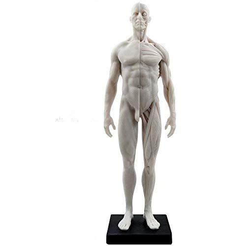 Global-Dental 11 inch Male Human Anatomical Model Art Anatomical Figure White