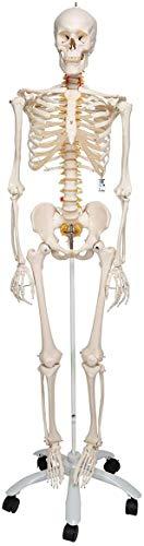 3B Scientific Menschliche Anatomie - Flexibles Skelettmodell Fred + kostenloser Anatomiesoftware - 3B Smart Anatomy, Standardstativ