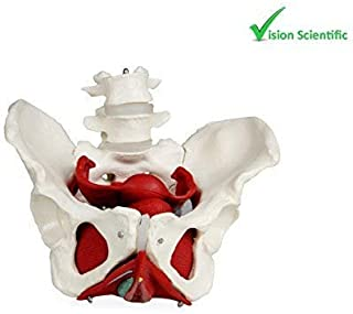 Vision Scientific VAP216 Female Pelvis with Organs   Pelvic Floor Muscles and Reproductive Organs   Removable Organs Include Uterus, Colon and Bladder   Includes Detailed Instruction Manual
