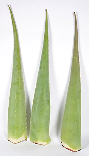 Barbadensis Miller - 3 hojas de aloe vera orgánicas