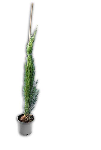 Säulenzypresse - Cupressus Sempervirens - verschiedene Größen (90-110cm - Topf Ø 18cm)