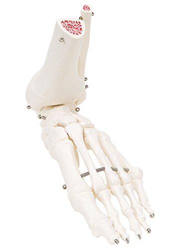 3B Scientific menselijke anatomie - enkelband met scheenbeen- en kuitbeenpomp, op draad getrokken - 3B Smart Anatomy