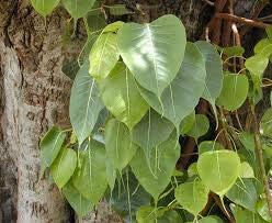 zumari 50 Semillas de Árbol Ficus religiosa Verde.