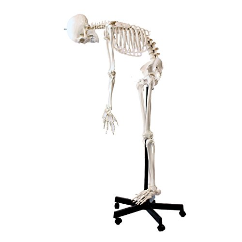 Cranstein A-123 Skelett-Modell lebensgroß 180cm mit flexibler Wirbelsäule, Anatomieposter - Anatomie-Modell als Lernmodell oder Lehrmittel