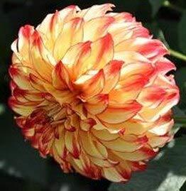 Shopvise Meistverkaufte hochwertige lila Kletterrose für Hausgarten 100 Samen/Pack: 8