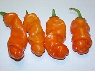 10 Seeds Peter Pepper ORANGE Heirloom Hot XXX chili Hilarious Rare unique Gift!
