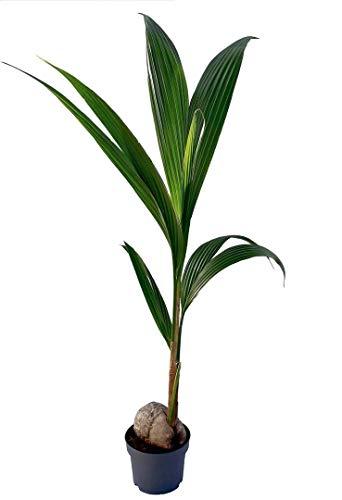 Coco nucifera - Palmera de interior - altura total aprox. 1,30m. -...