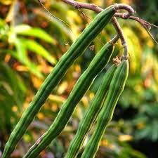 Alick 10 Muslo de Moringa Semillas de hortalizas Verde.