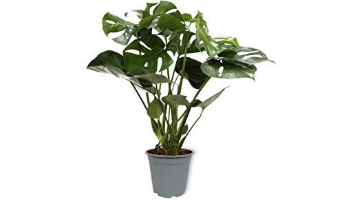 Zimmerpflanze Monstera Deliciosa Tauerii - Fensterblatt - Pflegeleicht - Echte Pflanze - Luftreinigend - Im Gärtnertopf - ±60cm hoch - 19 cm Durchmesser