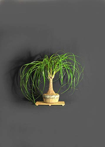 Tree Plant - Ponytail Palm Bonsai Tree, 'Gift a Bonsai' Collection from LiveBonsaiTree. e12