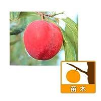 スモモ(プラム):プラム井上4~5号ポット[糖度が高くおいしい早生の大実種 苗木]