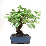 Bonsái Prunus mahaleb 8 años