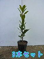月桂樹ローリエ葉(庭木の種類)