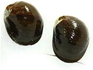(コケ取りの定番)石巻貝 10個