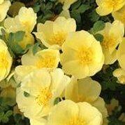 Shopvise Meistverkaufte hochwertige lila Kletterrose für Hausgarten 100 Samen/Pack: 7