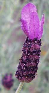 L+ - Lavandula Stoechas Anouk (2.5QT Size Pot, Bee Friendly, 1 Live Plant)