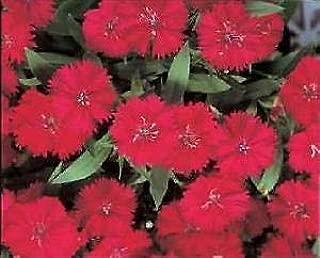 Best dianthus telstar carmine rose Reviews