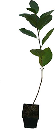 Apfelbeere NERO Pflanze Aronia melanocarpa robuste Plantagensorte