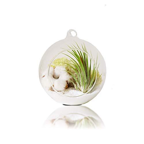 Tillandsien Pflanzen Mit Aufhängen Terrarium Glas Vase | Luftpflanzen Blumenständer | Glas-Übertopf Rund 12 cm | Zimmerpflanze Geschenk Set