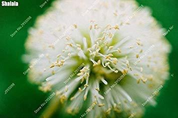Vista 50pcs / Sac Exotique Albizia Graines Vivace Intérieure Mimosa Soie Bonsaï En Pot Fleur Arbre pour Mini Jardin 3