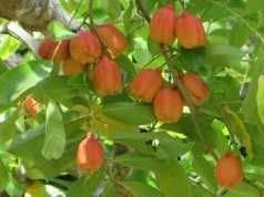 Nouveaux 2017 Fruit Lait de chèvre Graines Tropical Noir bio Brin Bonsaï Fruit Lait de chèvre, Grand jardin Plantes vivaces 100 Pcs 19