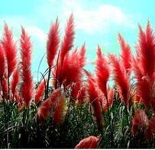 100pcs New rares impressionnants Pampas pourpre herbe semences de plantes ornementales jardin potager Plantes graines Fleurs pot herbe de la pampa bonsaï 4