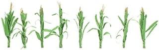 JTT Scenery Products Flowering Plants, Corn Stalks, 2