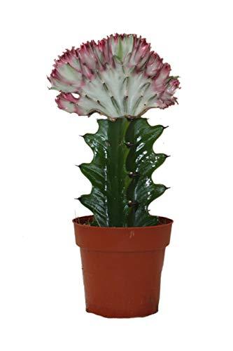 Exotenherz - Euphorbia lactea cristata gepfropft - 8,5cm Topf