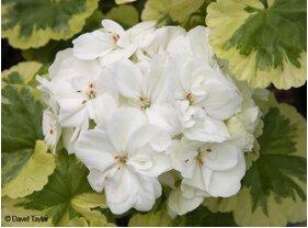1Bga 10 pcs graines de graines de Géranium, balcon en pot, les saisons de plantation, fleurs de plantation de bricolage couleurs mélangées Bonsai graines