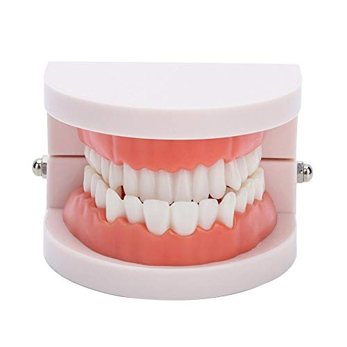 Modelo de diente, modelo de dientes, herramienta de demostración de estudio dental estándar modelo de dentadura práctica de cepillado dientes modo de encía diente de demostración anatómica