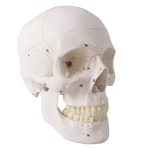 Generies 2021 Newest Design Human Skull Anatomical Model,with Painted Sutures 54 Pcs Labeled Numbered Skull Models for Medical Students,Human Brain Model for Kids Drawing Anatomy