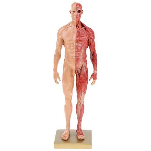 SHUAI 11 Zoll (30 cm) Männliche Anatomie-Figur Menschliches Muskelskelett Anatomisches Modell Lehrmittel