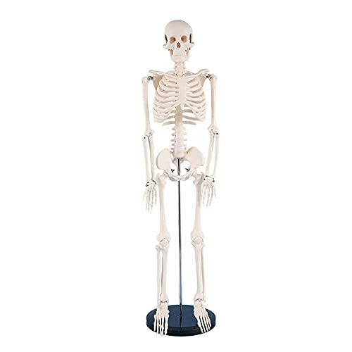 Modelos Y Materiales Educativos Médicos Suministros Y Consumibles Examen Médicos Scientific Modelo Anatómico Humano Esqueleto Clásico De Tamaño Natural sobre ⭐