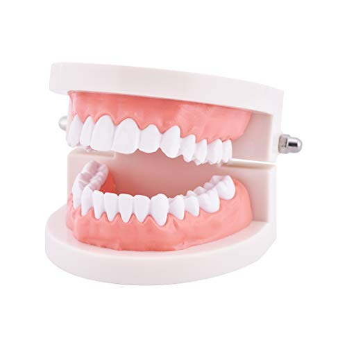 Dental Standard Teeth Model, Tooth Brushing Model, Typodont Demonstration for Teaching Studying Standard Size
