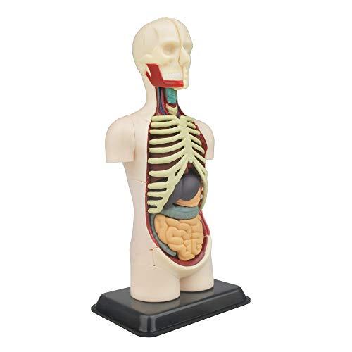 Modell menschliche Anatomie | 32 Teile menschlichen Körper Puzzle | Perfekt für Anatomie Studie | Bauen Sie Ihr eigenes Anatomie Museum | Torso Anatomie Modell zum Lernen |