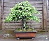 Secoya de amanecer - 60 semillas - Metasequoia glyptostroboides Bonsai fácil crecer rápido