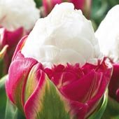 tulips to grow for culinary delights on Amazon.
