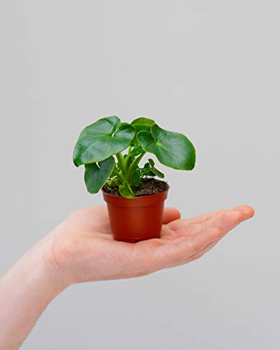 Philodendron Atom - BabyPLNTS Collection