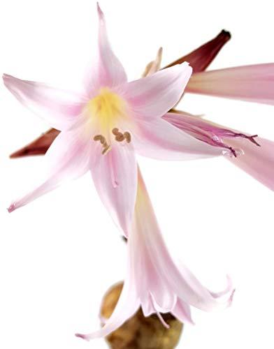 Fangblatt - echte Amaryllis Belladonna - Gr. M Blumenzwiebel mit gigantischer Blüte - zauberhafte Belladonnalilie aus Südafrika - seltene Pflanze für Liebhaber
