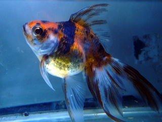 金魚 キャリコ(キャリコ琉金)【こだわりの生体をお届けします 名生園】