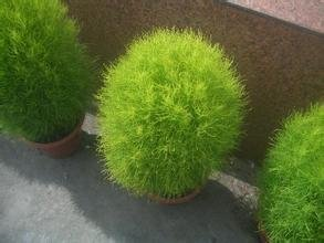 Semences de l'herbe Herbe Buisson Ardent Kochia Scoparia Seeds Red Garden ornemental de grossissement facile de vivaces