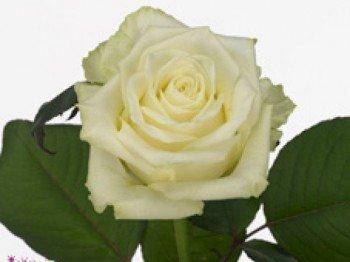 20 weiße Rosen 60 cm großer Kopf