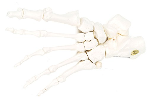 3B Scientific menselijke anatomie - enkelband los op nylon getrokken - 3B Smart Anatomy